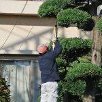 松の木の剪定作業