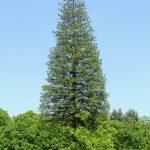 大きくなり過ぎた木